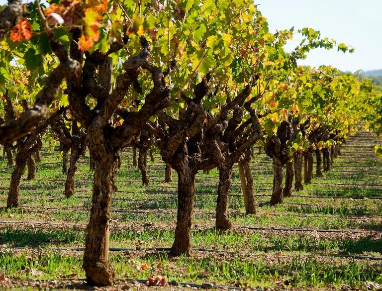 dry-creek-zin-vines