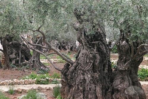Olive Tree Gethsemane